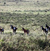 Bontebok Breeding Group